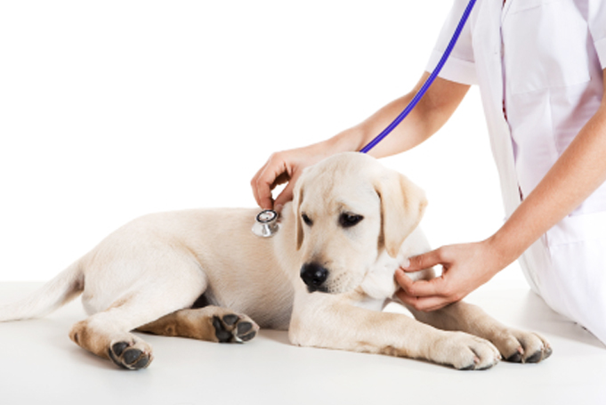 Dog and veterinarian with a stethoscope