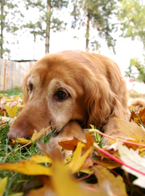 Dog lying on the grass with fall leaves