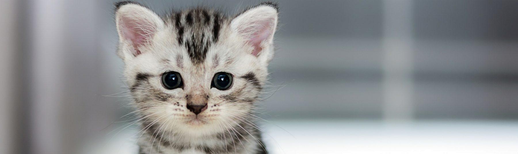 kitten-spay-neuter