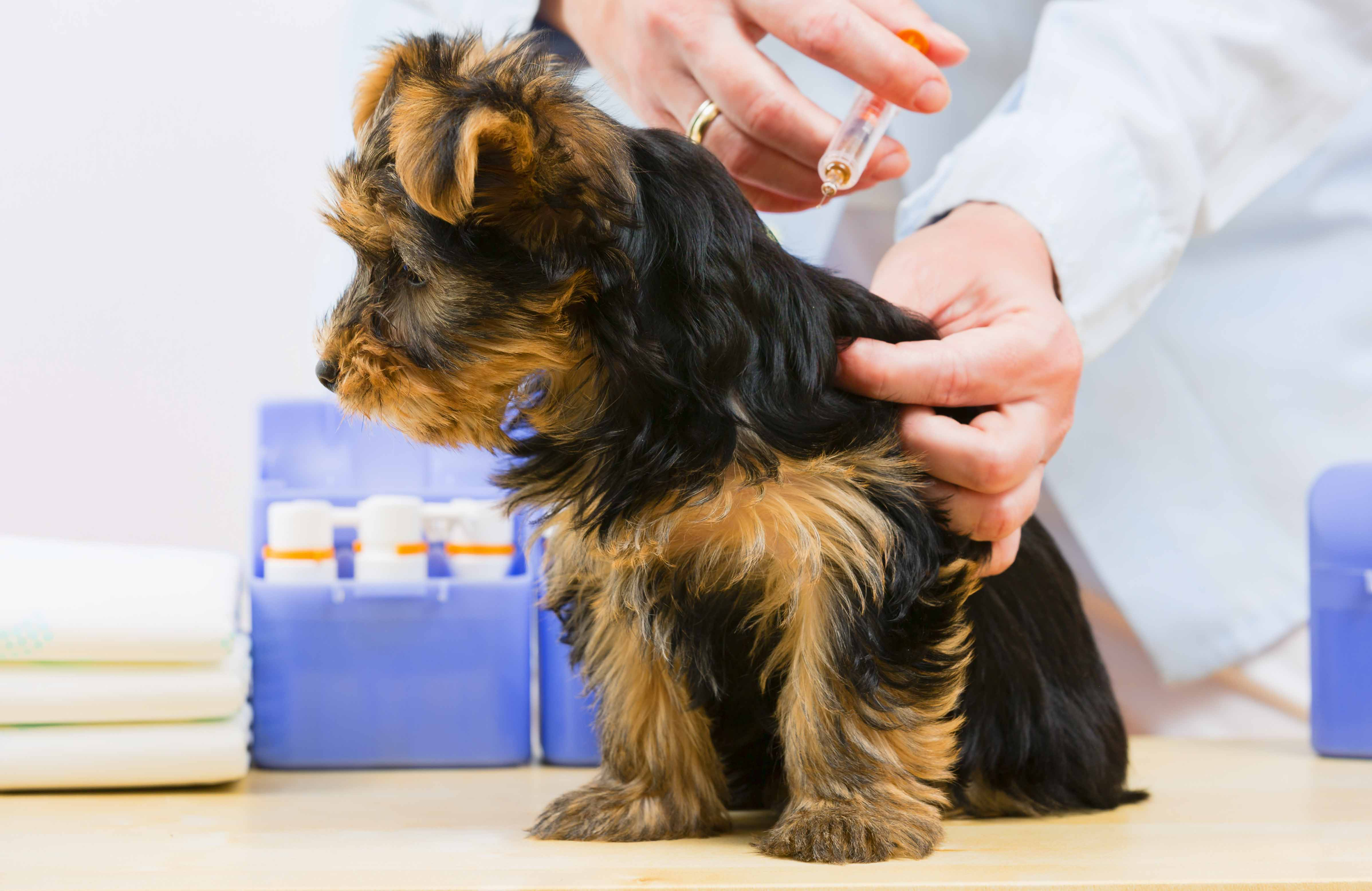 How Often Can You Give Adult Dogs Bordetella