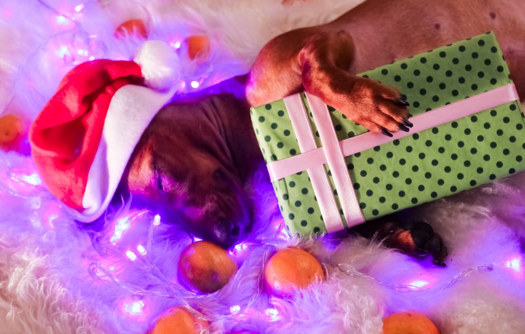 Daschund with Holiday gift