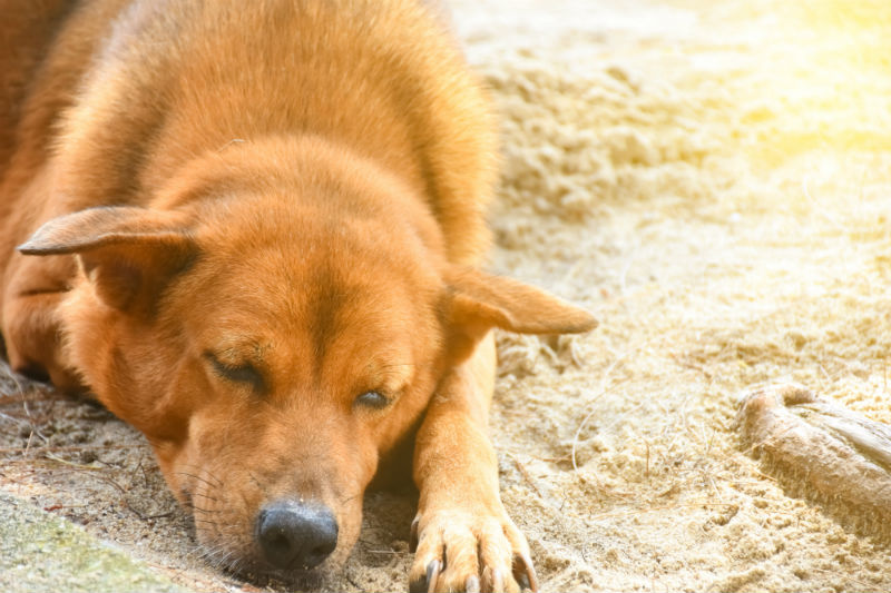 Old Golden Retriever laying down in the sand