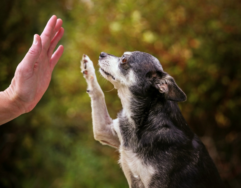 Senior dog high fiving its owner