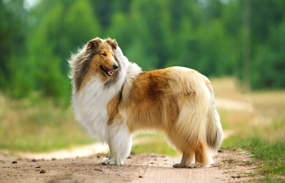 Collie dog outdoors