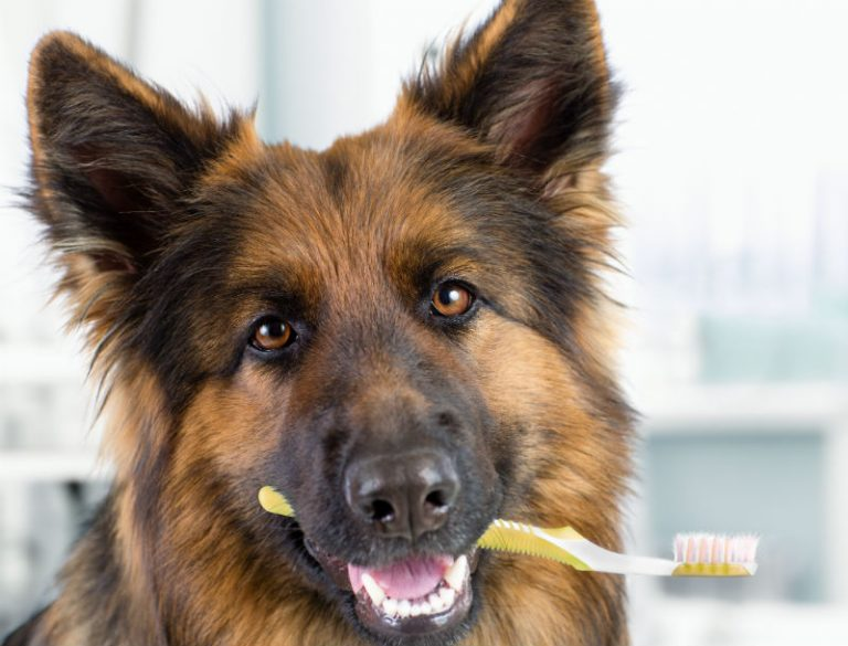 German Shepherd with a toothbrush in its mouth