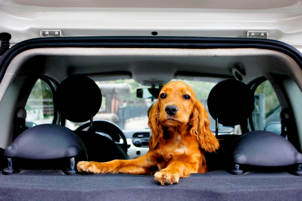 Dog in the backseat of a car