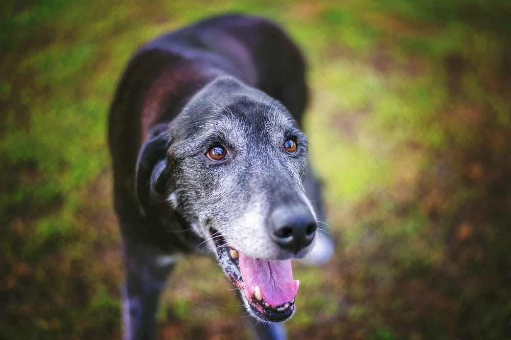 Greying senior dog