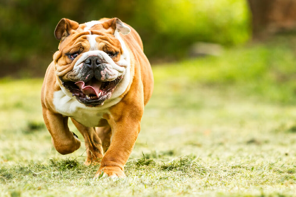 Bulldog running outdoors